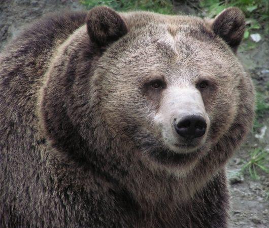 animalspirit bear